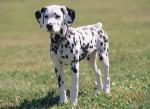 dalmatian-puppy.jpg