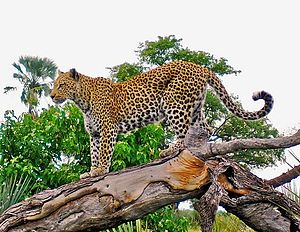 Leopard Theology: Not as fun as it sounds